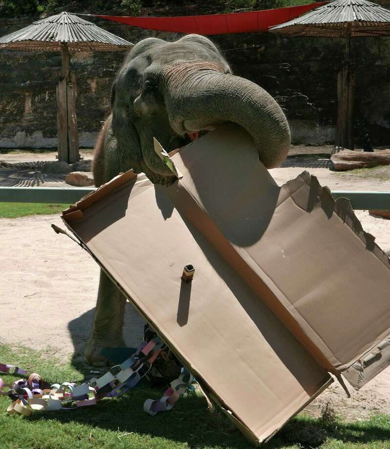 Lucky, the San Antonio Zoo's 56-year-old elephant, tears apart a cardboard toy made for her by children on Friday, July 22, 2016. Lucky remains active despite her years. Photo: Billy Calzada, Staff / San Antonio Express-News / San Antonio Express-News