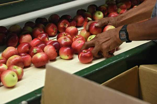 A farm worker packages Paula Red apples at Goold Orchard on Monday, Aug. 29, 2016 in Castleton, N.Y. Paula reds are an early variety of apples similar to McIntosh apples. (Lori Van Buren / Times Union)