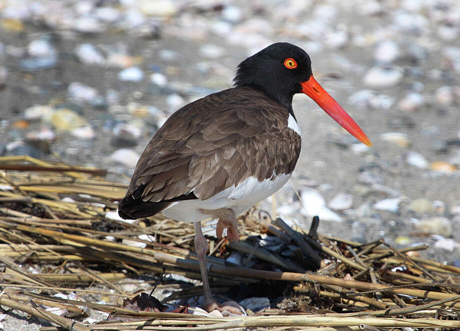 An American oystercatcher seen at Milford Point during the summer. Photo: Chris Bosak / Hearst Connecticut Media / The News-Times