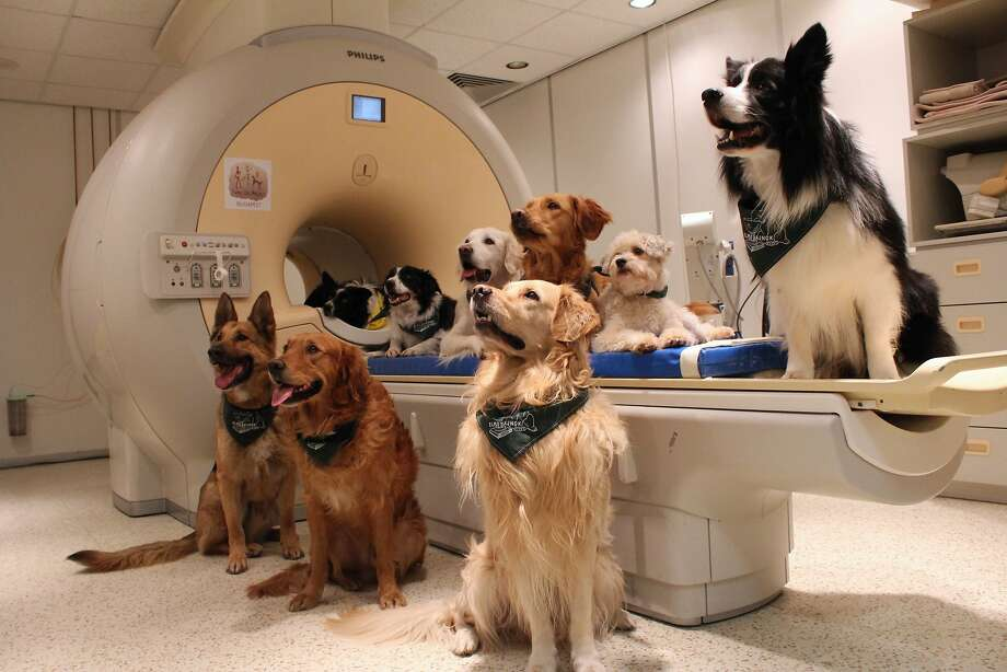 Dogs involved in a study to investigate how dogs process speech, gather around a brain scanner. Photo: Eniko Kubinyi, Associated Press
