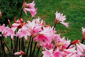 In their homeland, naked ladies, or belladonna lilies, bloom after wildfire clears shading brush. In gardens, they must have plenty of sun.
