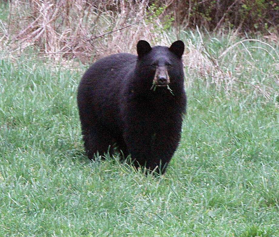 FILE a black bear Photo: Toby Talbot / Associated Press / Copyright 2016 The Associated Press. All rights reserved. This material may not be published, broadcast, rewritten or redistribu