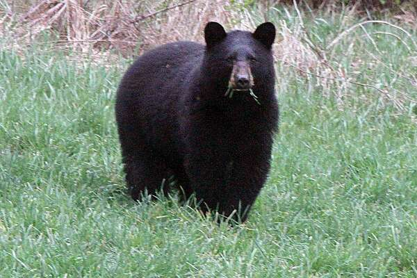FILE a black bear