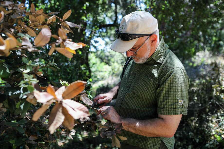 David Rizzo, chairman of plant pathology at the University of California at Davis, examines leaves on an oak tree.  Photo: GABRIELLE LURIE, STR / NYTNS