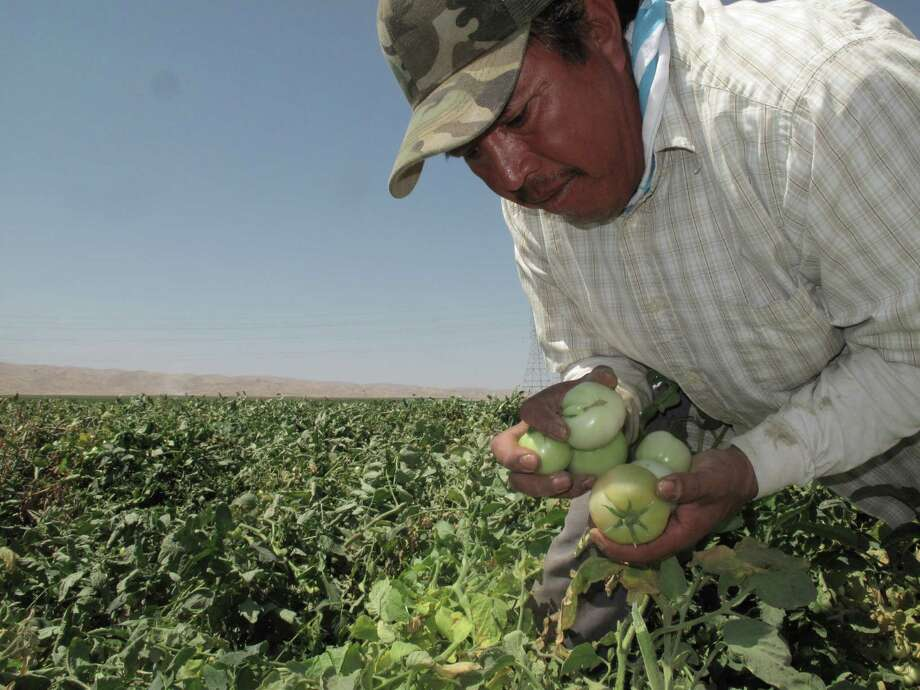 Farmworker Florentino Reyes picks tomatoes in a field near Mendota, Calif.  Photo: Scott Smith, STF / Copyright 2016 The Associated Press. All rights reserved.