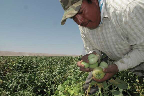 Farmworker Florentino Reyes picks tomatoes in a field near Mendota, Calif.