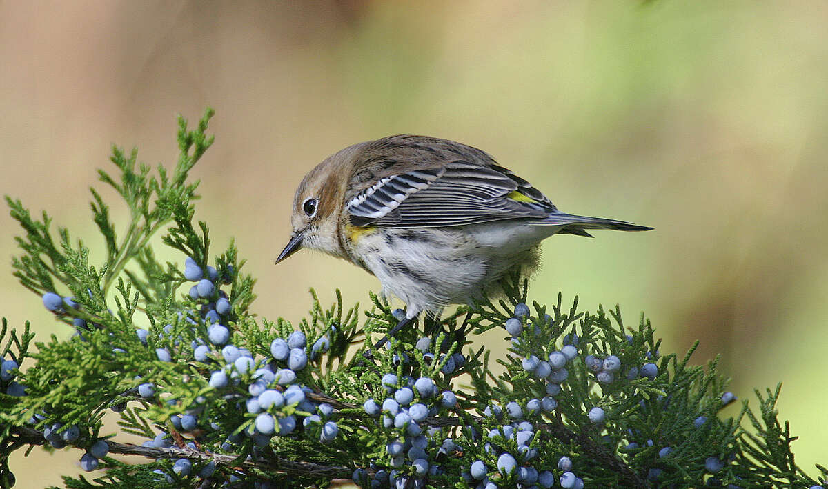 A Yellow-rumped Warbler eats berries from a cedar tree during fall migration.