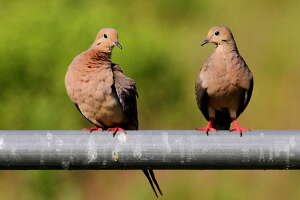Texas is home to 30 million to 35 million of North America's 350 million mourning doves, and sees another 10 million to 15 million migrate into the state during autumn. Those numbers pull about 300,000 wingshooters afield.