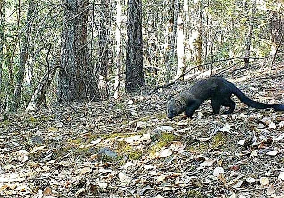 With a wildlife cam last week, Juan Salinas captured this rare photographer of a fisher, a weasel-like animal similar to a mink and pine marten, near his home Willits, Mendocino County Photo: Tom Stienstra, Juan Salinas / Special To The Chronicle