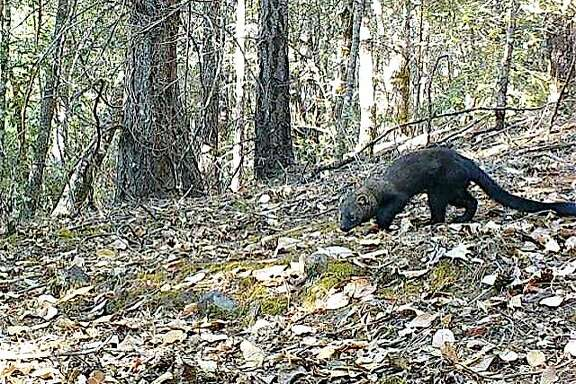 With a wildlife cam last week, Juan Salinas captured this rare photographer of a fisher, a weasel-like animal similar to a mink and pine marten, near his home Willits, Mendocino County