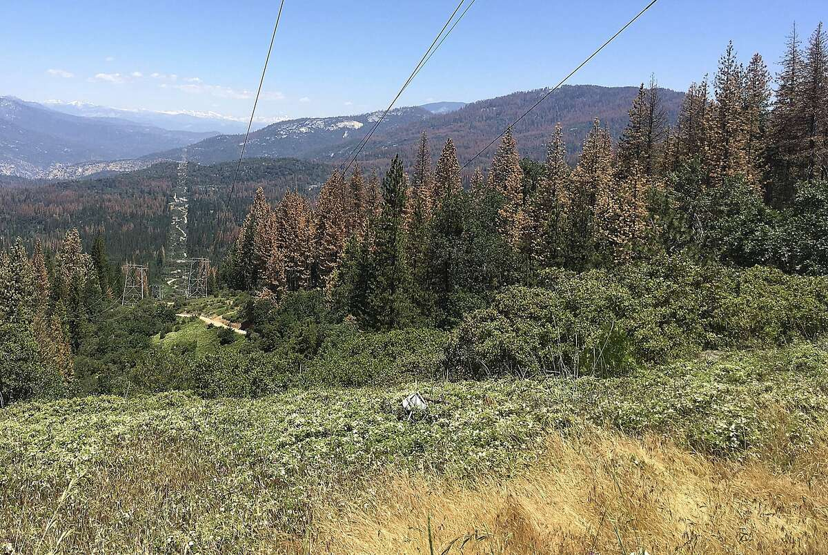 This June 6, 2016 photo shows patches of dead and dying trees near Cressman, Calif. The U.S. Forest Service announced Wednesday, June 22, 2016, that the number of trees in California's Sierra Nevada forests killed by drought and a bark beetle epidemic has dramatically increased since last year. (AP Photo/Scott Smith)