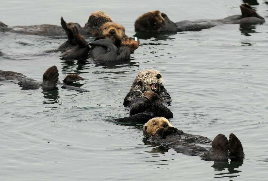 Sea otters gather in a yacht harbor on Tuesday, Aug. 21, 2012, in Moss Landing, Calif. Photo: Noah Berger, Special To The Chronicle