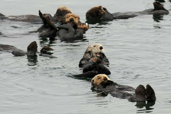 Sea otters gather in a yacht harbor on Tuesday, Aug. 21, 2012, in Moss Landing, Calif.