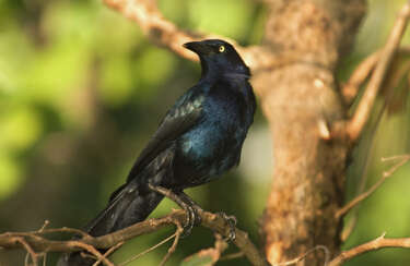 What you need to know about Grackles, Texas' worst bird