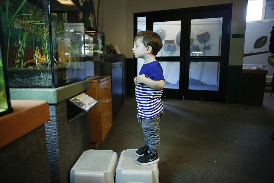 Jackson Ahern, 2, stands on a stool to peek into the dung beetle display in the Insect House at the San Fran cisco Zoo. Of all the types of poop from animals at the zoo offered to the beetles, pig manure is their favorite. Photo: Lea Suzuki, The Chronicle