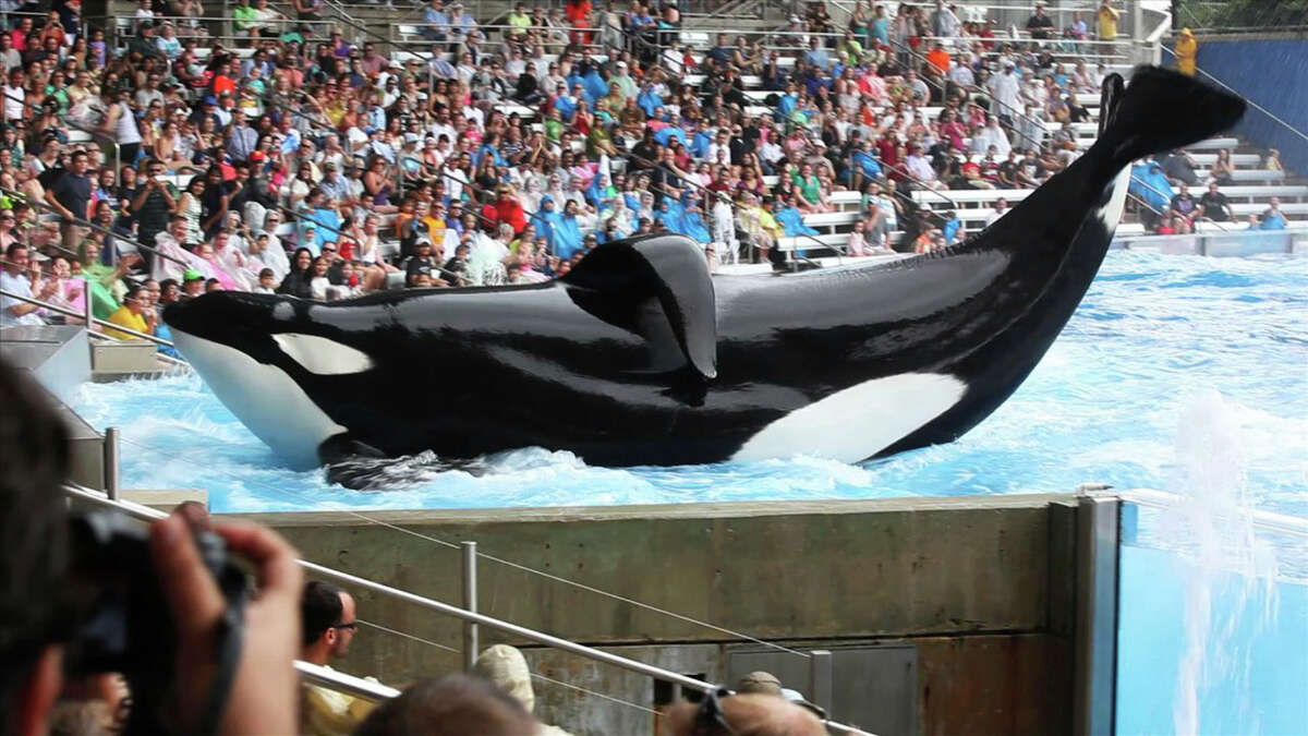 """This undated publicity photo released by courtesy of Magnolia Pictures shows the whale Tilikum in a scene from """"Blackfish,"""" a Magnolia Pictures release. (AP Photo/Magnolia Pictures) ORG XMIT: CAPH298"""