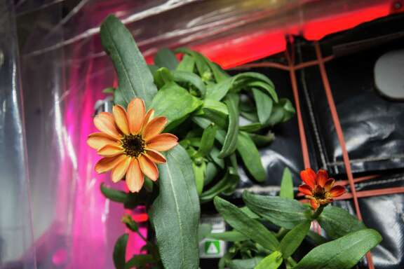 "On Jan. 16, 2016, Expedition 46 Commander Scott Kelly shared photographs of a blooming zinnia flower in the Veggie plant growth system aboard the International Space Station (ISS). Kelly wrote, ""Yes, there are other life forms in space! #SpaceFlower #YearInSpace"" This flowering crop experiment began on Nov. 16, 2015, when NASA astronaut Kjell Lindgren activated the Veggie system and its rooting ""pillows"" containing zinnia seeds."