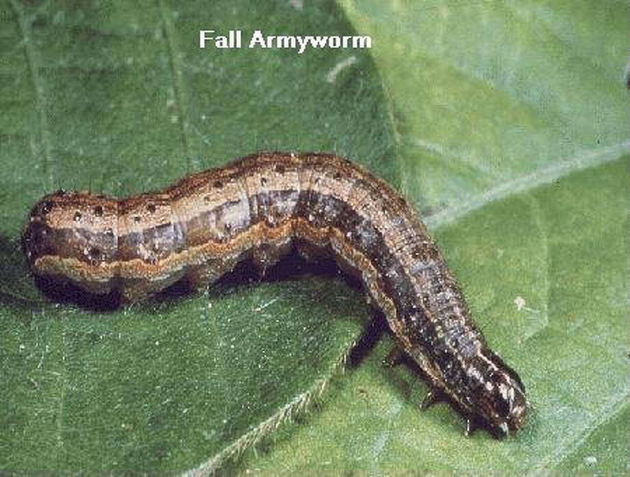 """FOR BUSINESS/ELIZ.ALLEN: Fall Armyworm (Spodoptera frugiperda)   The fall armyworm is up to 1-1/2 inches long with a gray-green to dark brown body color (Vis. 1). The head is dark brown with an inverted white Y on the """"face"""" Fall armyworm rarely attacks soybeans except in outbreak years. Damage is caused by foliage and pod feeding similar to corn earworm damage. Found throughout the South and parts of the Midwest, this pest prefers grasses, peanuts and cotton over soybeans.    SOURCE: Michigan State University Extension [http://www.msue.msu.edu/msue/imp/mods1/00000053.html] (9/25/98-krg) Photo: Special To The Express-News"""