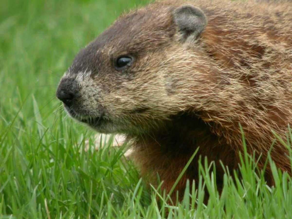 File - A woodchuck, also known as a groundhog. (University of Michigan Museum of Zoology)