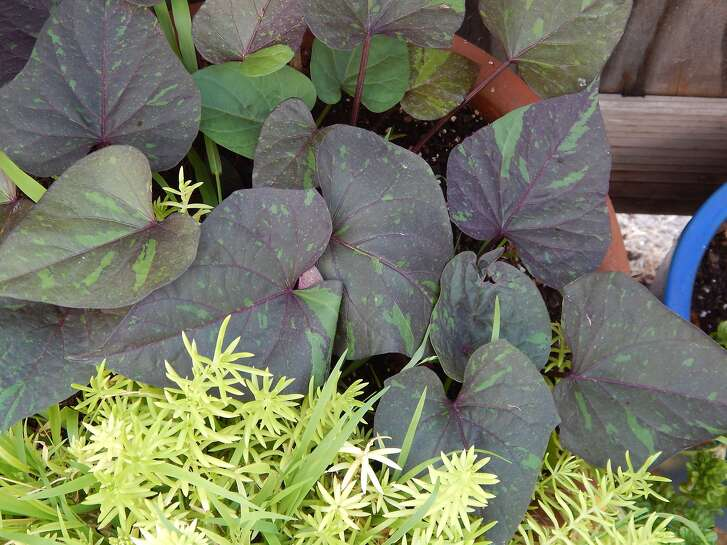 A new variety of Sweet Potato vine is the dazzlingly patterned variety called 'Jade Masquerade' with distinctive heart-shaped leaves.