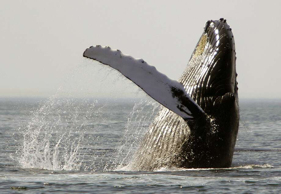 Humpback whales are known for vocalizations, and for acrobatic breaching, an apparently playful activity in which they lift nearly their entire bodies out of the water before splashing . Photo: Michael Dwyer, Associated Press