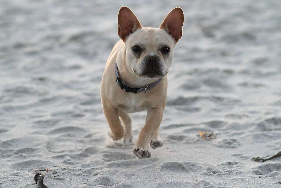 No. 1 in SF: French bulldogs George, a French bulldog, runs around on the beach on Saturday, May 19, 2012.  Photo: Sean Culligan, The Chronicle