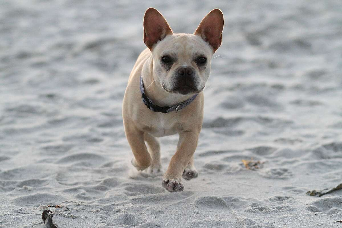 George, a French bulldog, runs around on the beach on Saturday, May 19, 2012. Carmel is one of the most dog friendly places you will find in California. From the beaches to the stores, everywhere you go in Carmel so can your dog.