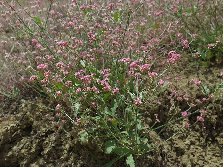 Mount Diablo Buckwheat Photo: Heath Bartosh