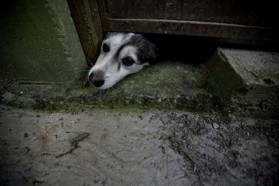 A dog pokes his head out from under a door at a shelter in Caracas. Photo: Fernando Llano, STF / Copyright 2016 The Associated Press. All rights reserved.