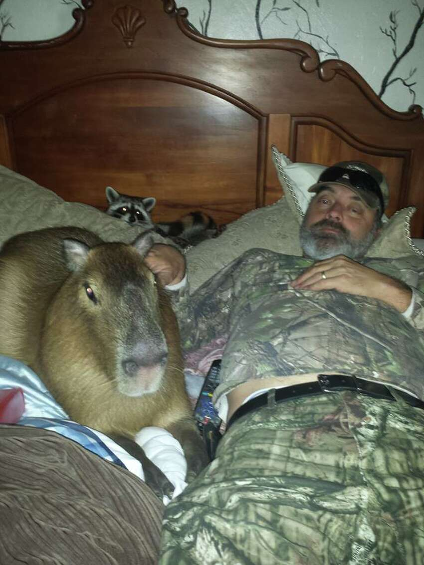Chico, the 2-year-old 120-pound Capybara from Texarkana owned by Jackie Coleman Wren.