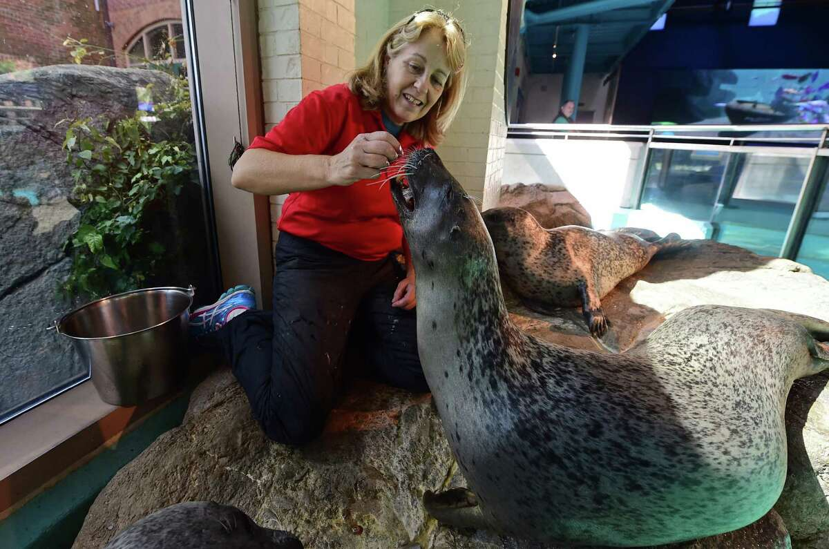 Vicki Sawyer, an aquarist at the Maritime Aquarium, works with harbor seals, Polly and Tillie, as Sawyer perfoms her duties Thursday, September 8, 2016, at the aquarium in Norwalk, Conn. Sawyer has worked with the seals and river otters at the aquarium since it opened in 1988, and she will be retiring Sept. 15.
