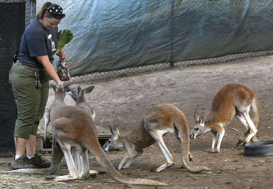 Keeper Amanda Zamara feeds kangaroos by hand in September at the San Francisco Zoo, where animals celebrate human holidays. Photo: Paul Chinn, The Chronicle