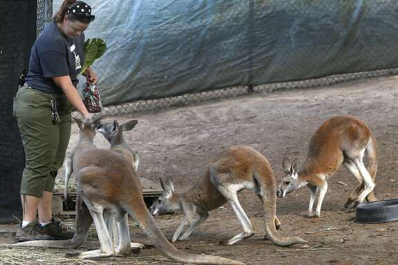 Keeper Amanda Zamara feeds kangaroos by hand at the San Francisco Zoo in San Francisco, Calif. on Thursday, Sept. 8, 2016.