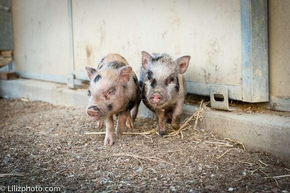 Iggy and Ziggy, two piglets at Animal Place sanctuary in Vacaville, need a new home after their owner abandoned them.