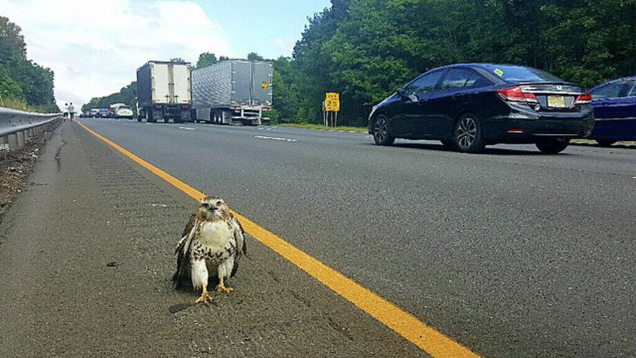 A red-tailed hawk walks along I-91 in Cromwell on Wednesday, Sept. 7, 2016. State Police and DOT crews safely turned the hawl over to Cromwell Animal Control. Photo: Connecticut State Police Via Facebook