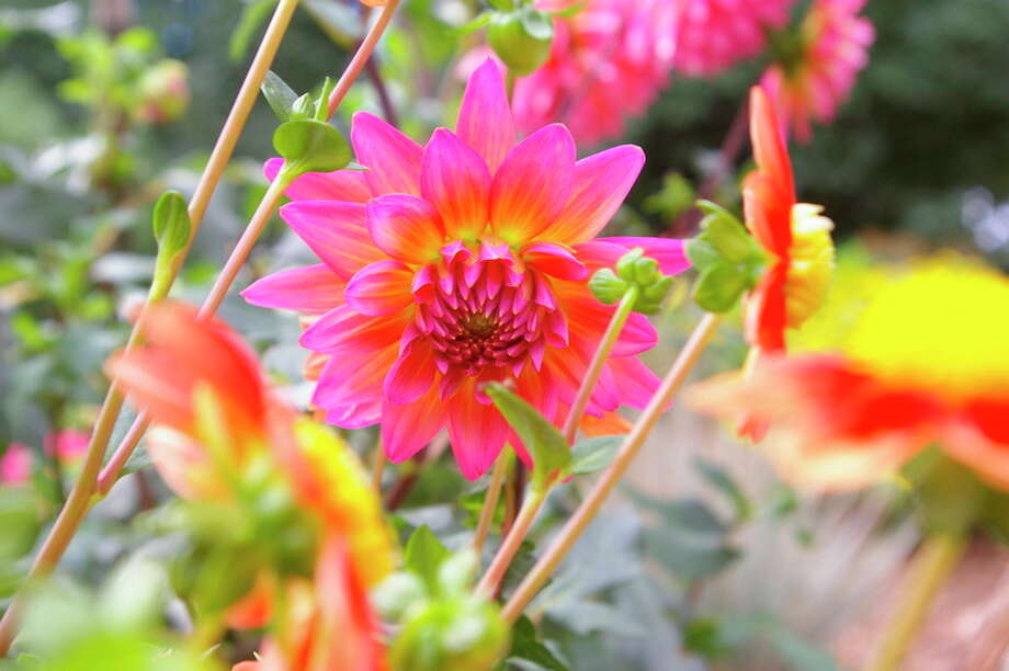 Niky House | for the Daily News One of the more than 300 varieties of dahlias located at Dahlia Hill in Midland.