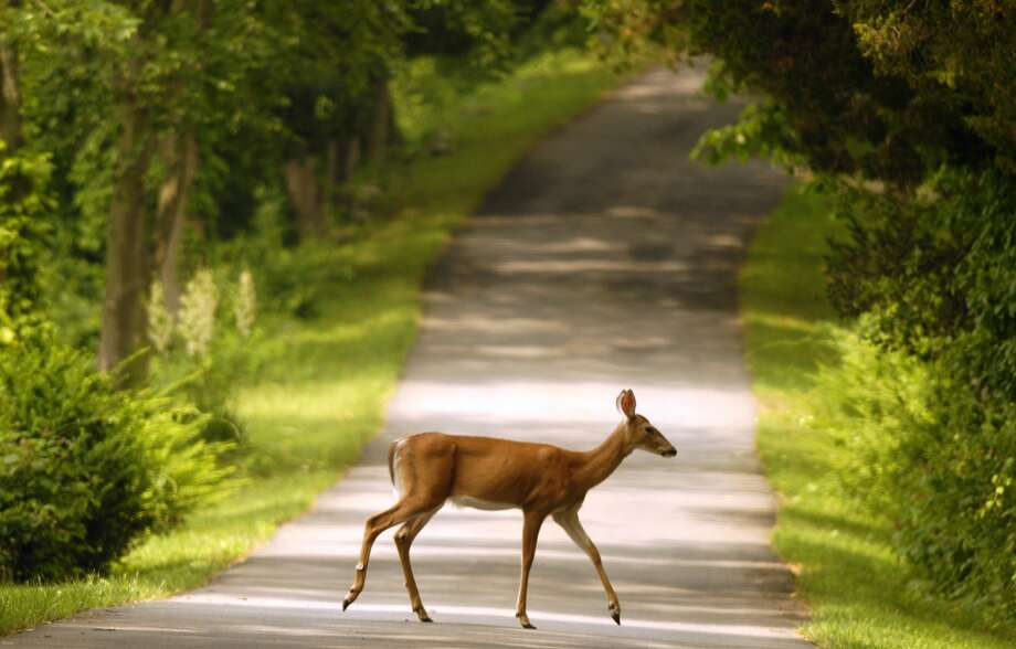 Connecticut drivers face a 1 in 313 chance of hitting a deer in 2016, according to State Farm.  Photo: Paul Desmarais, ST
