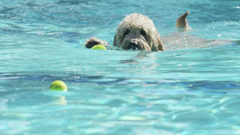 Tucker, a Goldendoodle from Clifton Park, chases down a ball in the water at the Dog Splash Pool Party at the at the Albany JCC on Sunday, Sept. 11, 2016, in Albany, N.Y.  Proceeds from the fundraiser went to rescue groups in attendance including Good Shepherd K-9 Rescue, Karma K-9 Rescue and Mohawk Hudson Humane Society.    (Paul Buckowski / Times Union) Photo: PAUL BUCKOWSKI / 20037781A