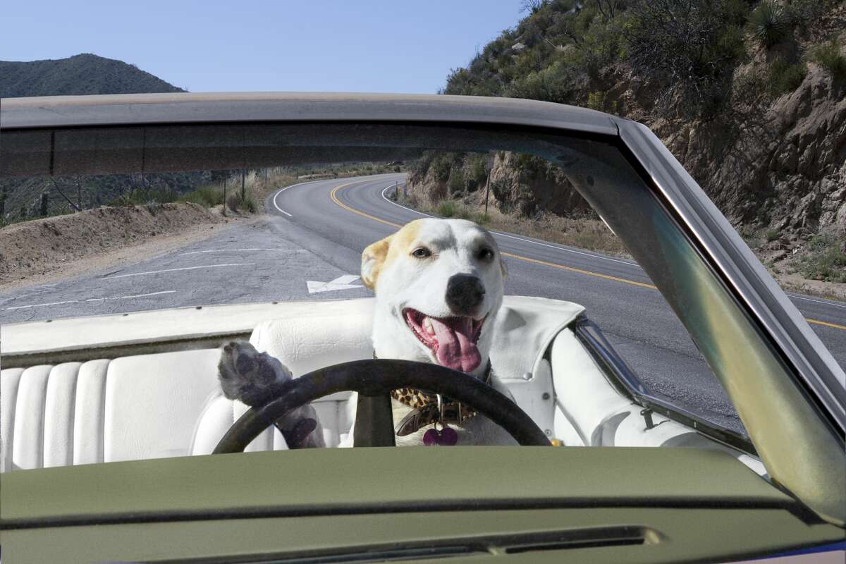 A dog is shown behind the steering wheel of a car in this photo from Getty.
