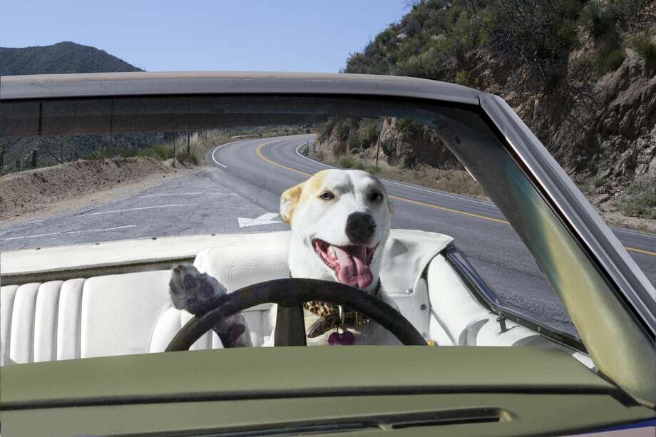 A dog is shown behind the steering wheel of a car in this photo from Getty. Photo: Catherine Ledner/Getty Images