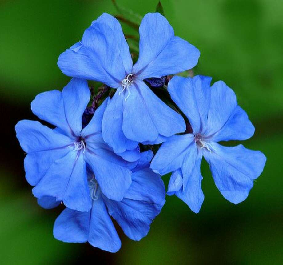 Blue plumbago, a.k.a. ceratostigma plumbaginoides, is a colorful addition to the fall garden. Photo: U.C. Botanical Garden.