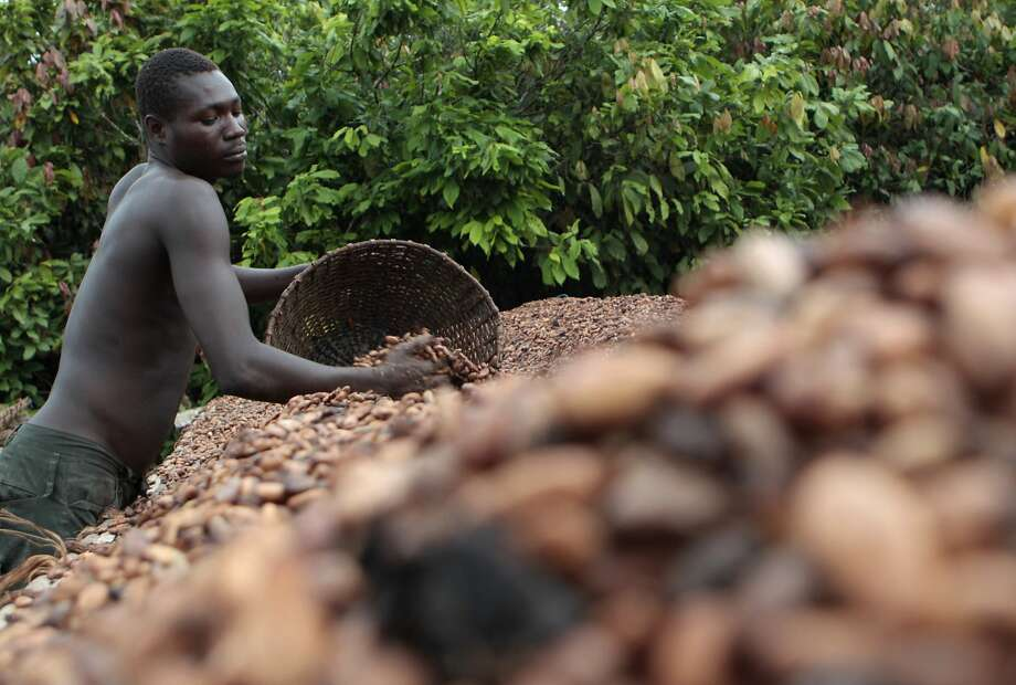 A farmer lays cocoa beans out to dry on a farm near the village of Fangolo. Ivory Coast produces about 35 percent of the world's supply of raw cocoa, but for many of its people chocolate is an unaffordable luxury. Photo: Rebecca Blackwell, Associated Press