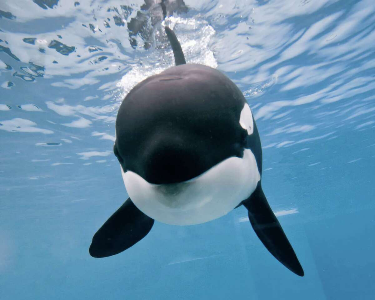 This Tuesday, April 29, 2014 photo provided by SeaWorld San Diego, a 9-year-old orca named Kalia swims at the SeaWorld San Diego park in San Diego, Calif. SeaWorld San Diego says Kalia is pregnant with her first calf. (AP Photo/SeaWorld San Diego) ORG XMIT: LA110