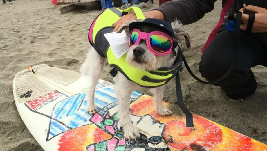 Wes, a Yorkie/Jack Russell Terrier mix, is so new to dog surfing, the tags are still on his outfit. He placed third in a category with three dogs in the 2016 competition, but he at least looked cool in his doggles. Photo: Rachael Myrow/KQED