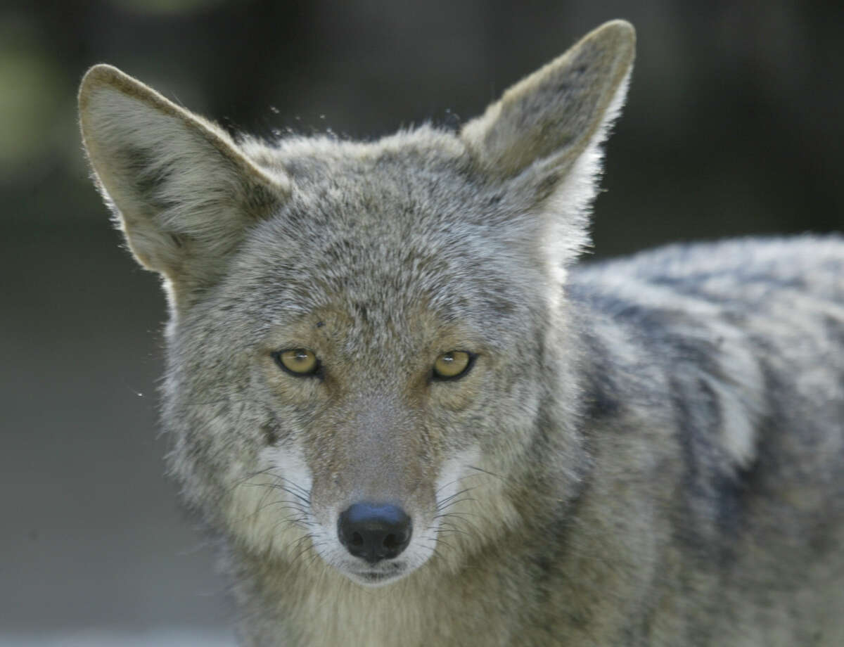 A coyote, similar to the one in this file photo, was seen in North Stamford Monday afternoon.