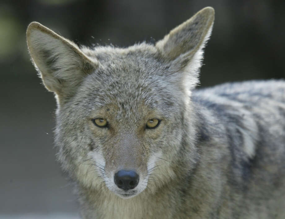 A coyote, similar to the one in this file photo, was seen in North Stamford Monday afternoon. Photo: Michael Maloney / San Francisco Chronicle / The Chronicle