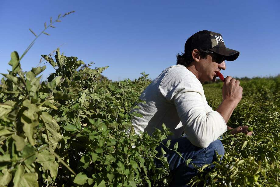 Cole Ogando, owner of Preserve Public House, samples peppers in the field at Green Almond Farm. Photo: Michael Short, Special To The Chronicle