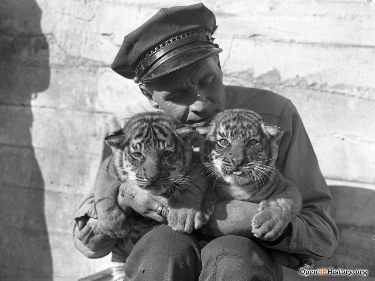 Tiger Cubs at the Zoo n.d. Courtesy of OpenSFHistory.org.