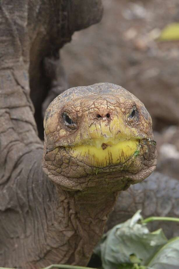 Diego, a tortoise of the endangered Chelonoidis hoodensis subspecies from Española Island, is seen in a breeding centre at the Galapagos National Park on Santa Cruz Island in the Galapagos archipelago, located some 1,000 km off Ecuador's coast, on September 10, 2016. / AFP / RODRIGO BUENDIA        (Photo credit should read RODRIGO BUENDIA/AFP/Getty Images) Photo: RODRIGO BUENDIA/AFP/Getty Images