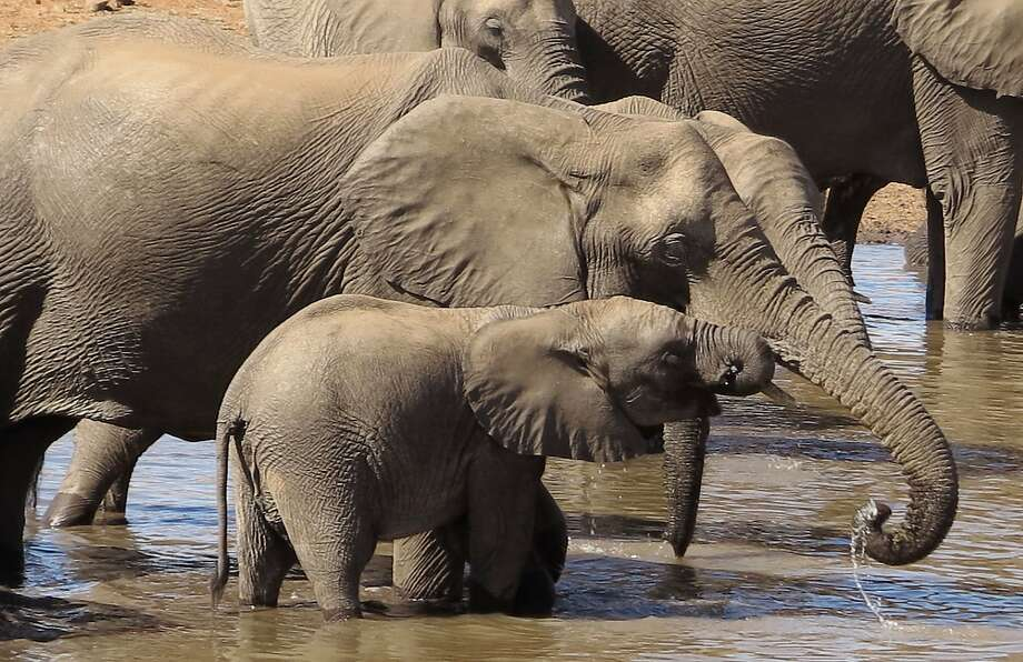In this photo taken on Friday, Aug. 19, 2016, a herd of elephants swim and drink water in the Kruger National Park, South Africa. South Africa's parks service stopped culling elephants to reduce overpopulation in 1994, partly because due to public opposition. (AP Photo/Dolf van Zuydam) Photo: Dolf Van Zuydam, Associated Press